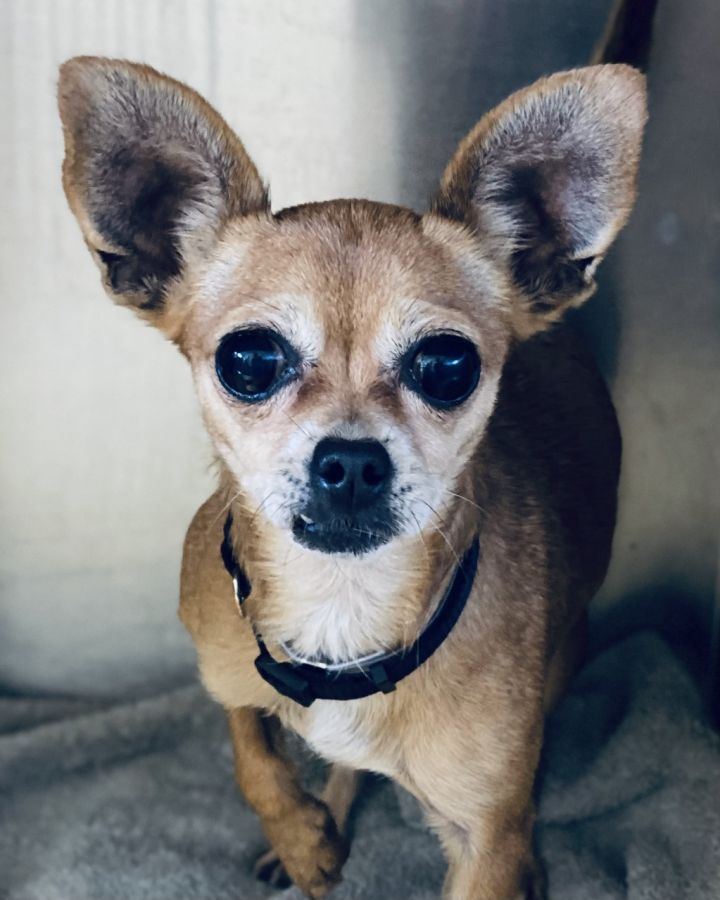 Ravioli, an adoptable Chihuahua in Los Alamitos, CA