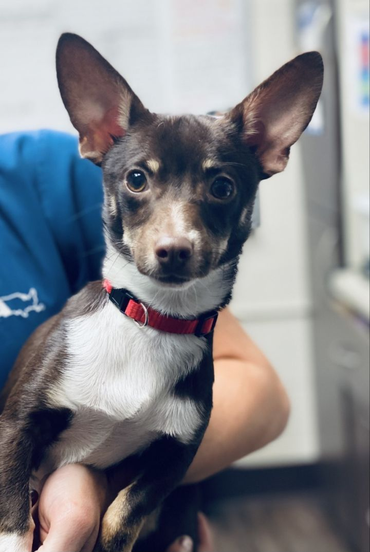 Rigatoni, an adoptable Chihuahua & Terrier Mix in Los Alamitos, CA
