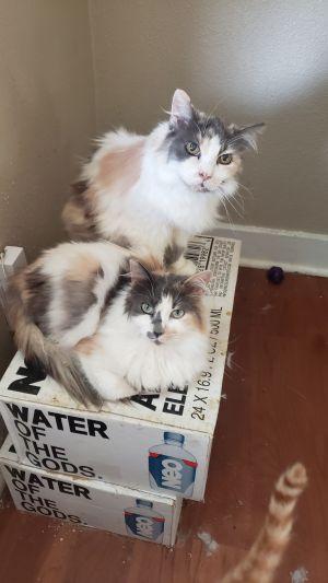 Gisela & Elvira Domestic Long Hair Cat
