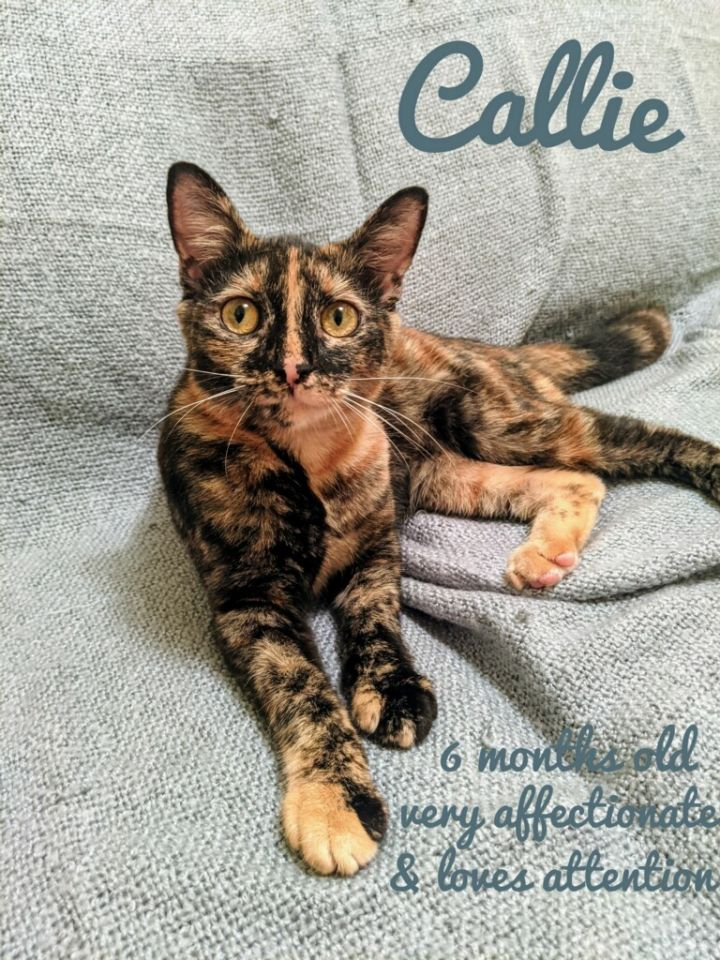 Callie, an adoptable Tortoiseshell & Domestic Short Hair Mix in Miami, FL