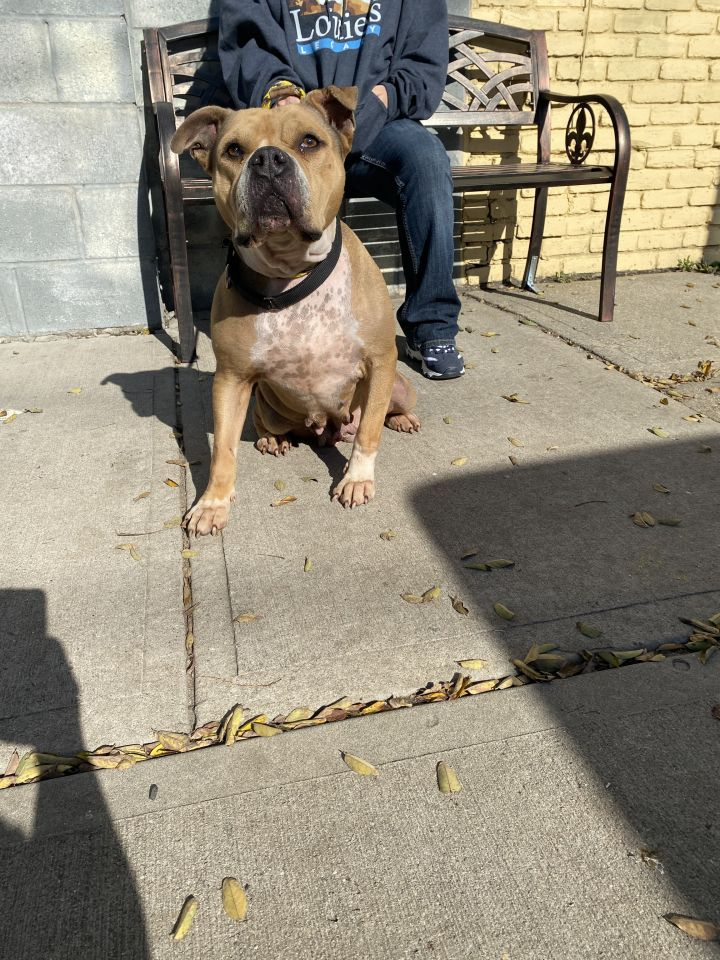 Stella, an adoptable Pit Bull Terrier & Boxer Mix in Staten Island, NY
