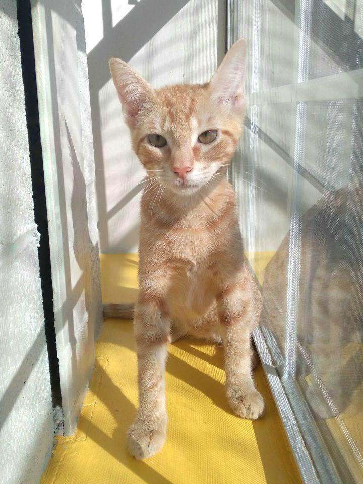 Joe Purrow, an adopted Domestic Short Hair Mix in Carencro, LA