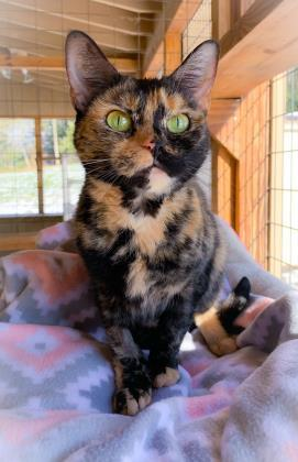 Quinn, an adoptable Domestic Short Hair in Bloomsburg, PA