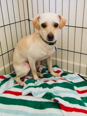 Phyllo Chihuahua Dog