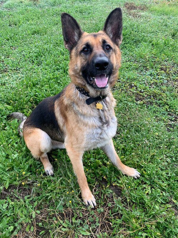 Sarge, an adoptable German Shepherd Dog Mix in McMinnville, OR
