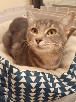 Say hello to Olivia Olivia is a beautiful girl She is great with other kitties and with dogs She