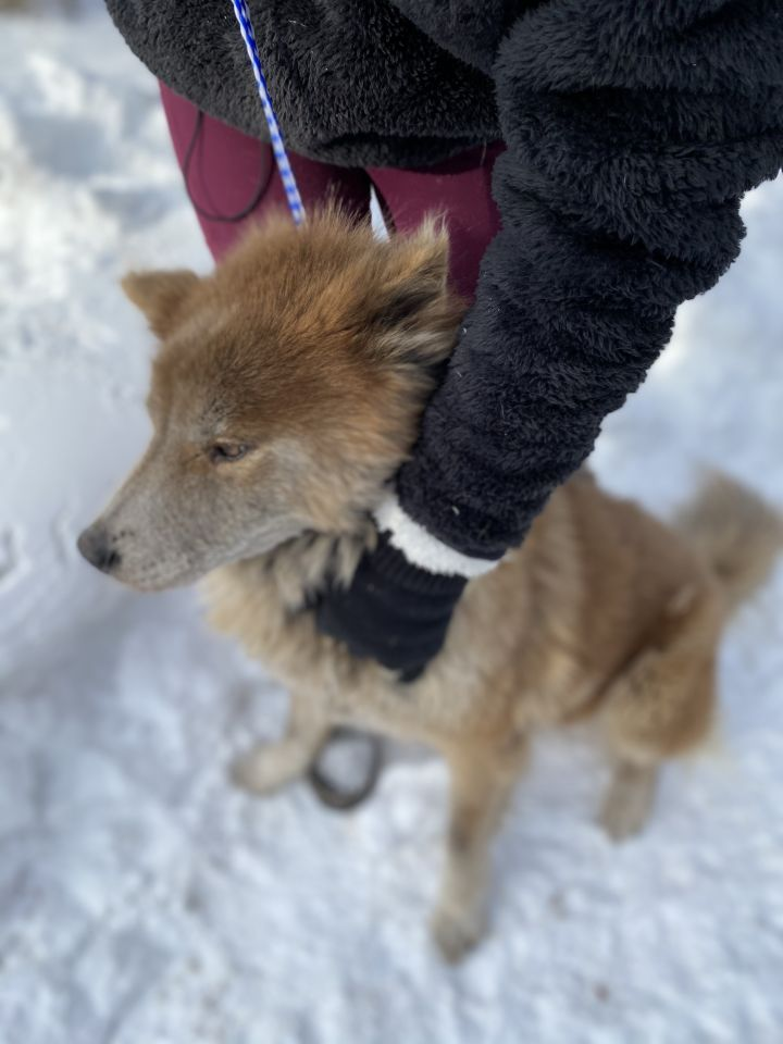 Vulpix, an adopted Husky & Chow Chow Mix in Southbury, CT