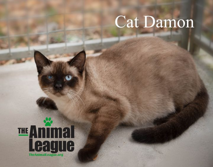 Cat Damon, an adoptable Siamese Mix in Clermont, FL
