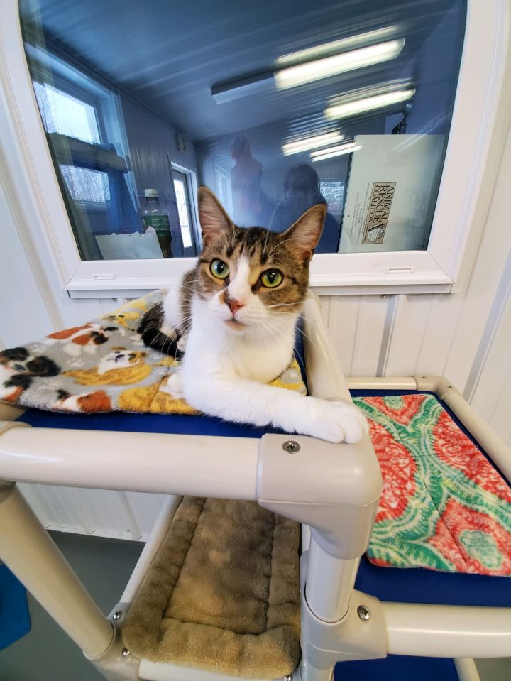 Pida, an adopted American Shorthair in Big Rapids, MI