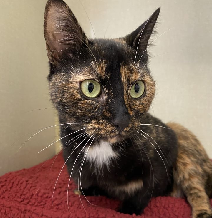 Frankie, an adopted Domestic Short Hair & Tortoiseshell Mix in New Rochelle, NY_image-2
