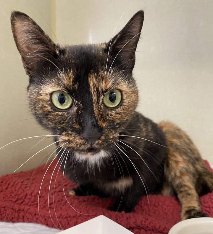 Frankie, an adopted Domestic Short Hair & Tortoiseshell Mix in New Rochelle, NY_image-3