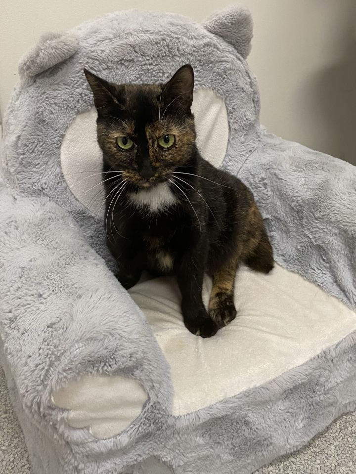 Frankie, an adopted Domestic Short Hair & Tortoiseshell Mix in New Rochelle, NY_image-4