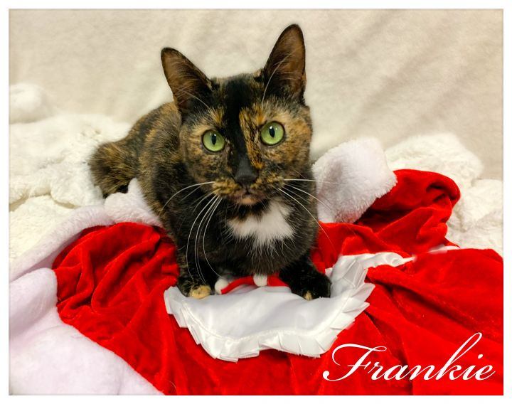 Frankie, an adopted Domestic Short Hair & Tortoiseshell Mix in New Rochelle, NY_image-1