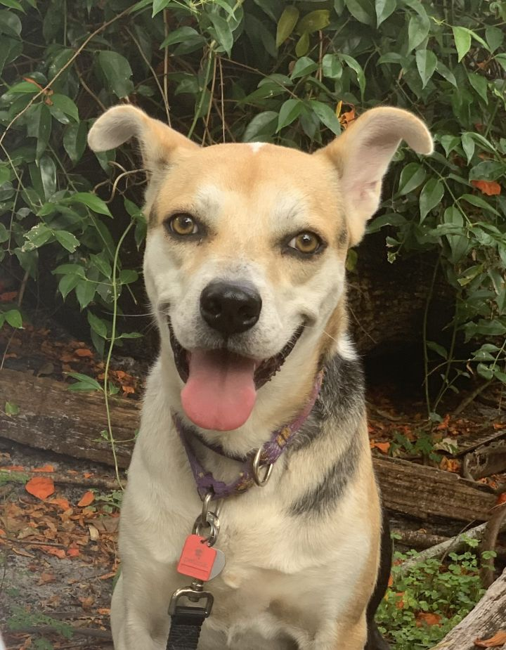 Joey, an adoptable Hound & Shepherd Mix in Davie, FL