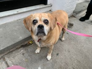 PUGGLE 12 years old 28 lbs needs to lose 8 to 10 lbs -- NEEDS LOW TO MEDIUM ACTIVE HOME