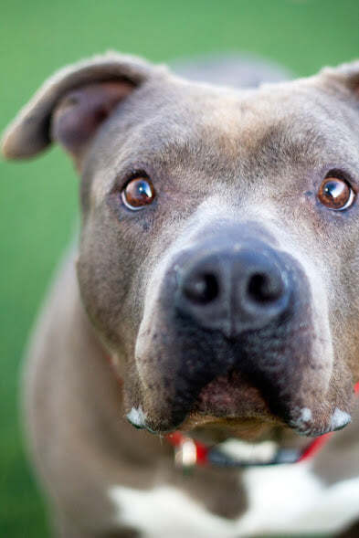 Money, an adoptable Pit Bull Terrier Mix in Eagle, ID