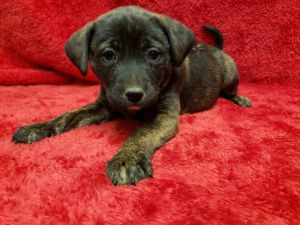 SYLVIA 8 weeks old 5lbs As of 1222 ChowCollie Mix Spayed Female About 40lbs Full Grown HIg