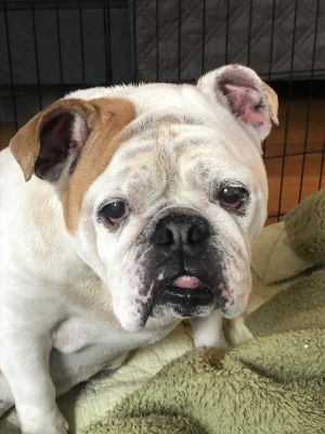 Oh dear sweet Rosie What a personality packed into a compact rolly poly bulldog wrinkly body Rosie