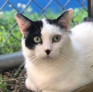 Niagara Domestic Short Hair Cat