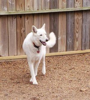 Gypsy White German Shepherd Dog