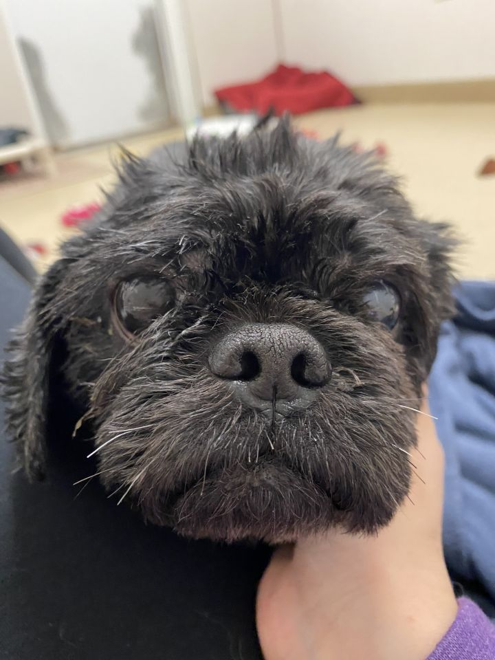 Coco, an adoptable Pekingese Mix in Naperville, IL
