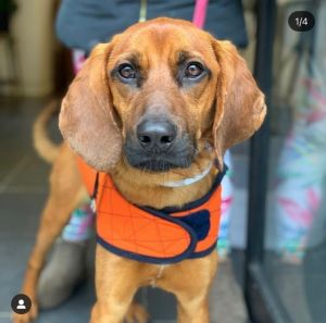 JASPER 1 year old 37lbs Hound Mix Neutered Male Born in Tennessee becoming a man in New York Ci