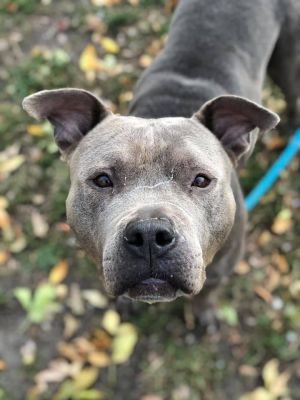 Nora A221589 Nora is a 6 year old spayed female who came into the shelter on 10620 as a confiscate