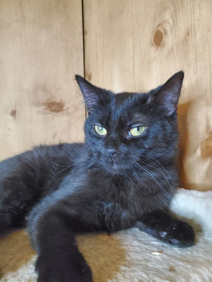 Lydia A-2451, an adoptable Domestic Short Hair in Eaton Rapids, MI