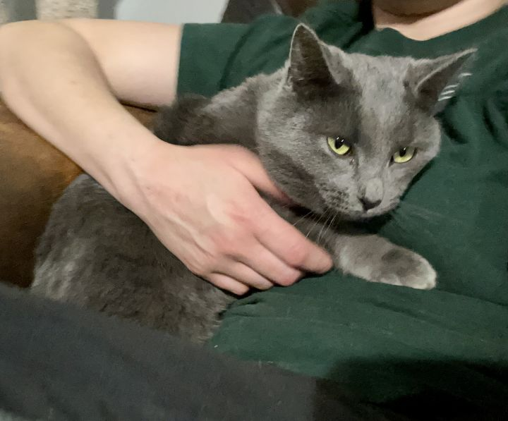 Grey Mom, an adoptable Domestic Short Hair Mix in Matthews, IN