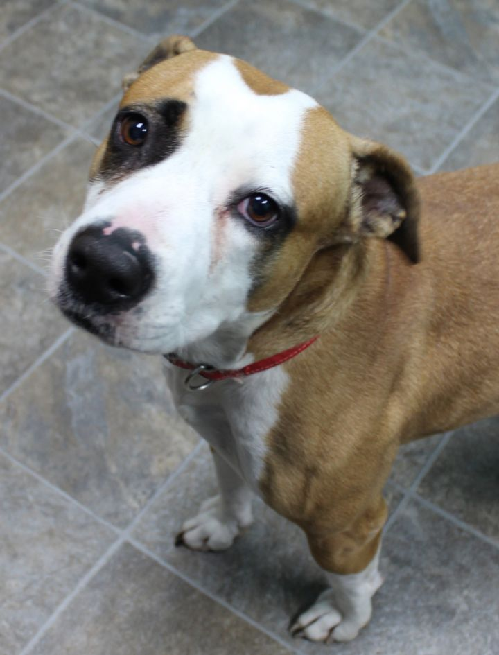 Zola, an adoptable Pit Bull Terrier in Neillsville, WI