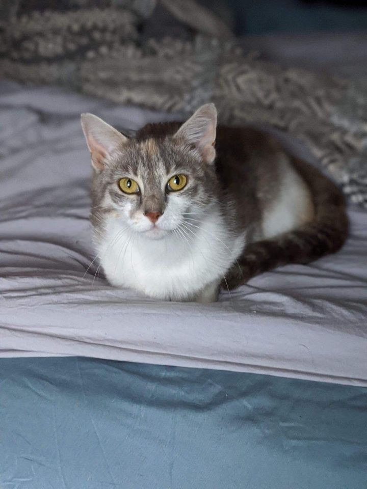Cali, an adopted Dilute Calico in Somers, CT