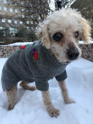 CUPCAKE 17yo 10lbs as of 125 Poodle Mix Spayed Female BLIND and HARD OF HEARING Cupcake is s