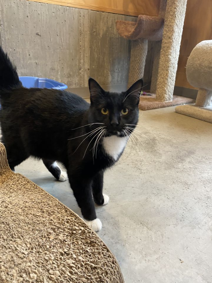 Mittens, an adoptable Domestic Short Hair in Jackson, WY
