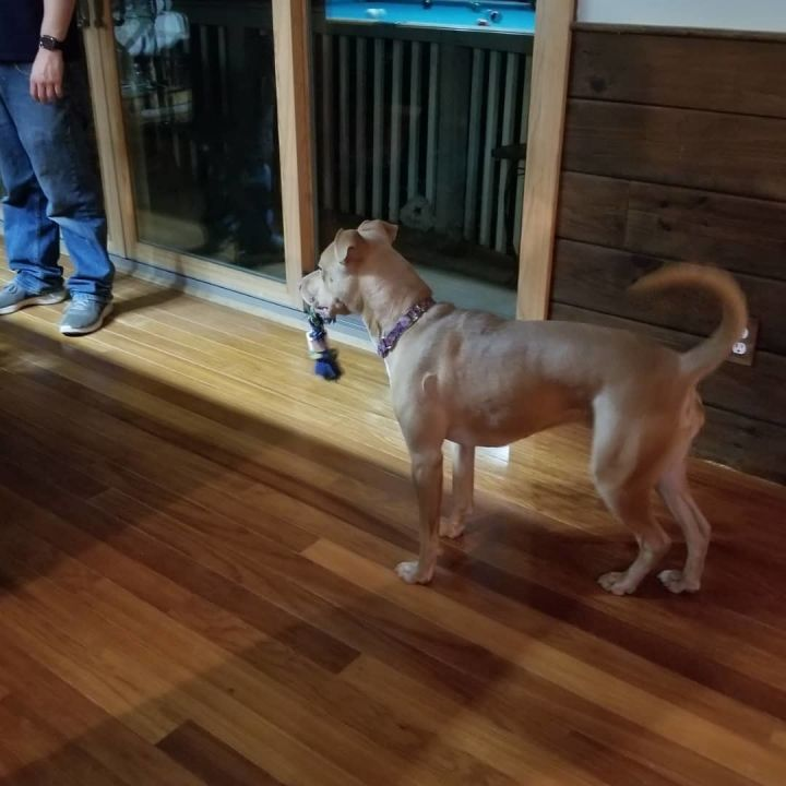 Dolly, an adoptable Terrier Mix in Weare, NH