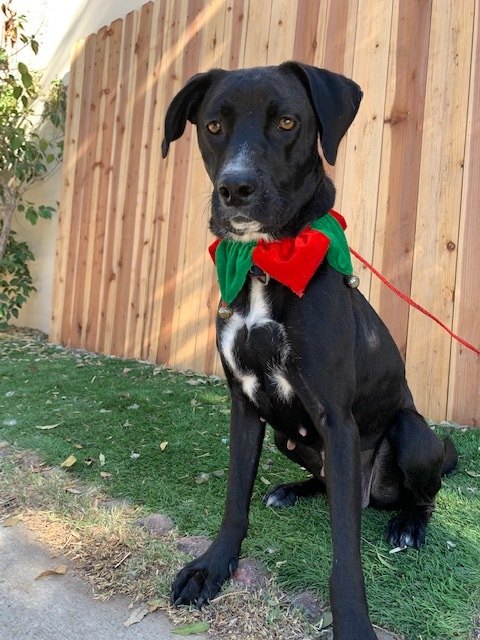 SADIE, an adopted Labrador Retriever Mix in Rowland Heights, CA_image-1