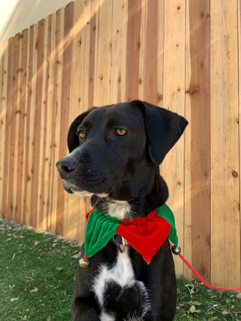 SADIE, an adopted Labrador Retriever Mix in Rowland Heights, CA_image-2