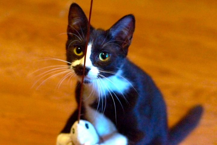 Selene, an adoptable Domestic Short Hair in Staten Island, NY