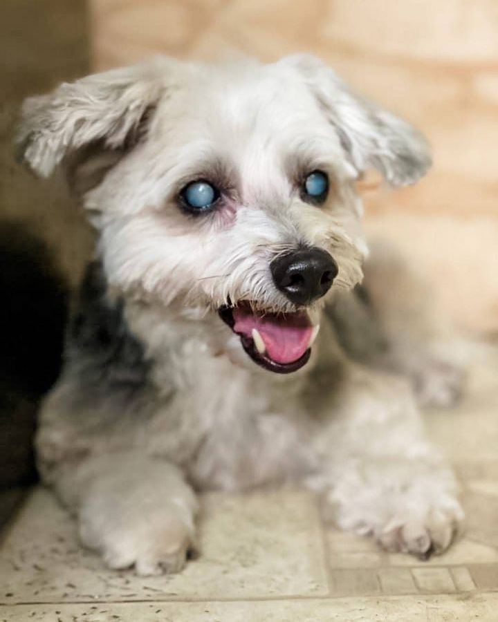 ETHEL!, an adoptable Poodle & Yorkshire Terrier Mix in Philadelphia, PA