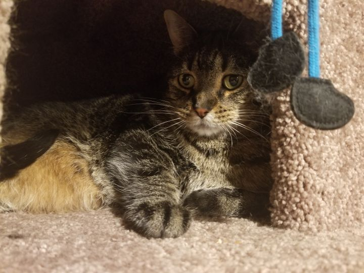 Nigel20, an adopted Domestic Short Hair in Milwaukee, WI