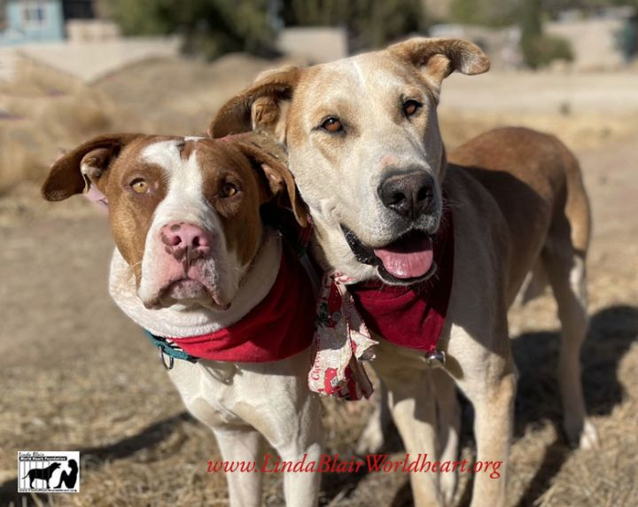 Awesome Samson_ large breed Gamper mix and brother Sponge bob, an adopted Great Dane Mix in Acton, CA_image-3