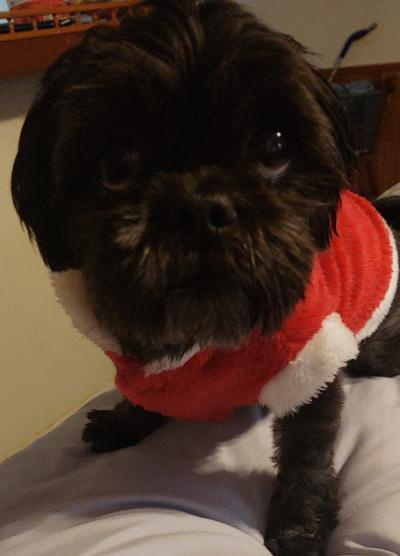 Coco, an adopted Shih Tzu in Whitewater, WI