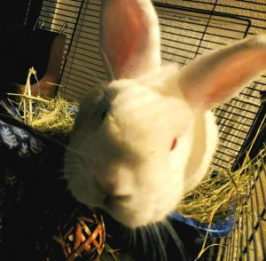 Jack is a NEUTERED MALE Lionhead mix around 3 years old who is SO sweet He is a very clean