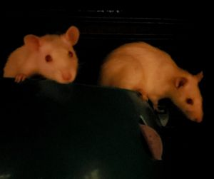 5 FEMALE Rats UP for adoption 2 born Oct 2020 1 around a year old 2 under a year old