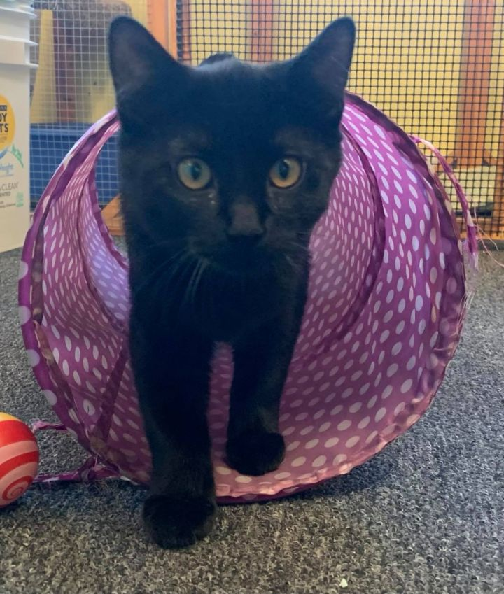 Yule, an adopted Domestic Short Hair Mix in Racine, WI