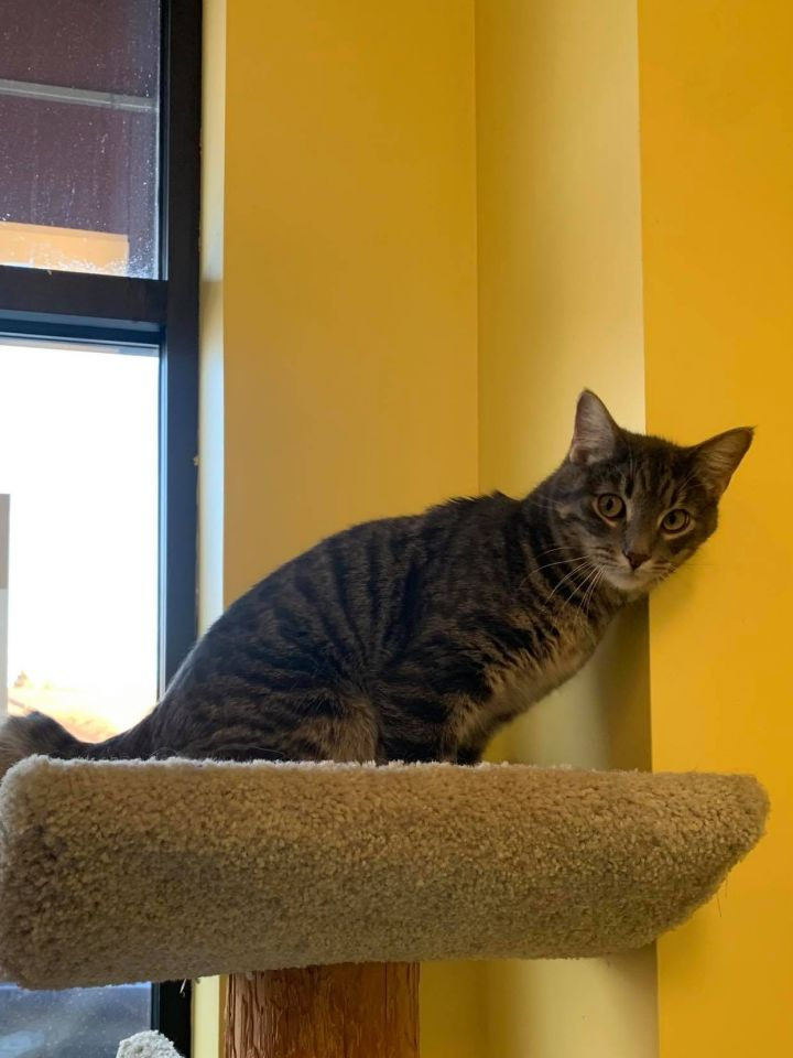 Tannen, an adopted Domestic Short Hair Mix in Racine, WI