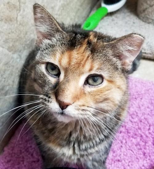 Celine - Adoption Fee Paid!, an adopted Domestic Short Hair in Jefferson, WI