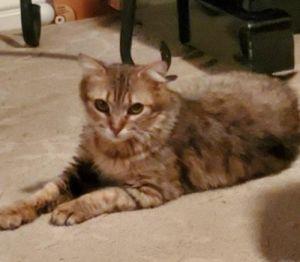 Amber Domestic Medium Hair Cat