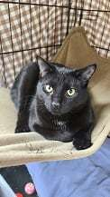 Birdie, an adopted Domestic Short Hair in Monroe, MI