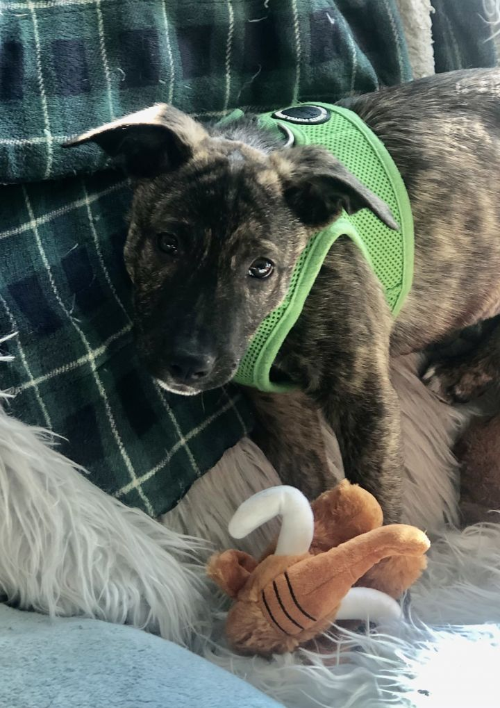 Lani, an adoptable Dutch Shepherd & Shepherd Mix in Long Beach, NY