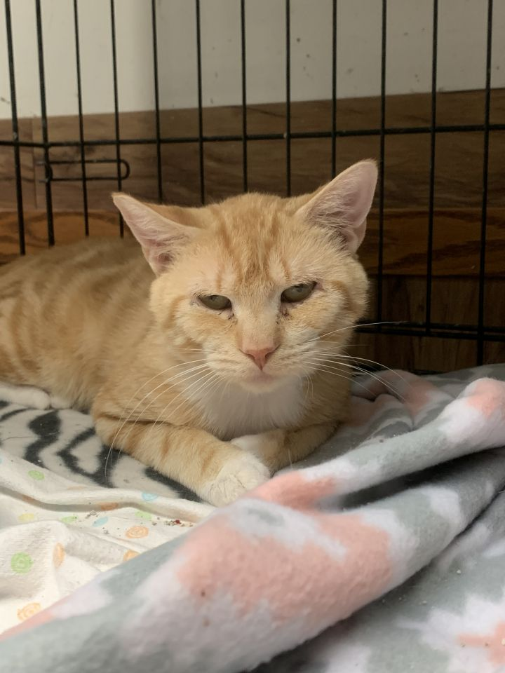 Zeus, an adoptable Domestic Short Hair in Highland, IN